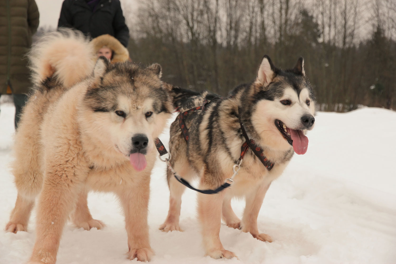 TopClimat.ru отмечает Новый год: В Год Собаки - на собаках
